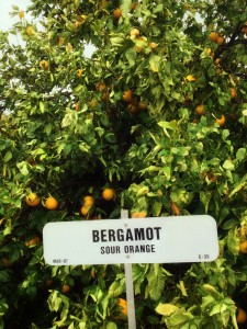Дерево бергамот