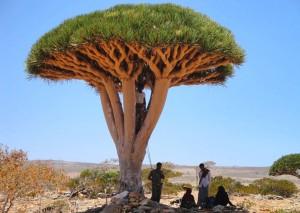 Boswellia - ладанное дерево