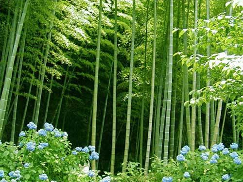 bambuk1