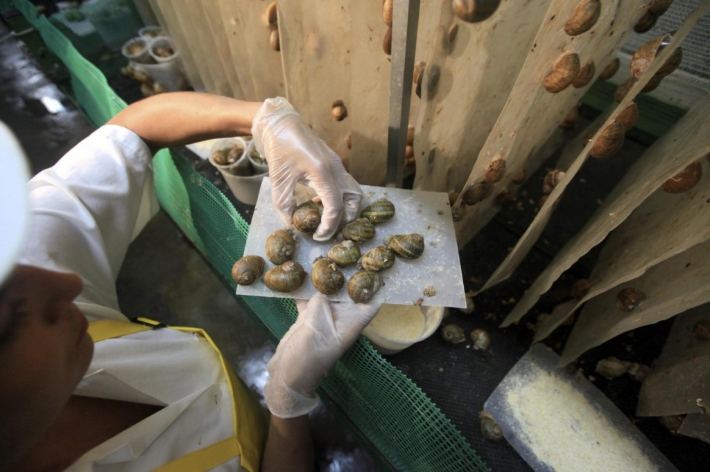 A worker prepares to put snails (Helix Aspersa) on their panels in a farm near Choachi